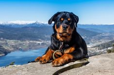 11 Things #Rottweiler owners know and wish you'd understand