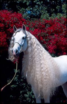 Andalusian White horse with the beautiful mane.#horse