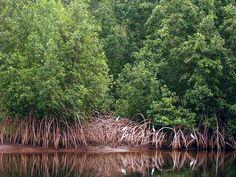 Mangrove in Sette Cama, Ogooue-Maritime, Gabon