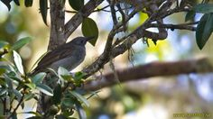 Marbled Honeyeater (Pycnopygius cinereus) A perched bird
