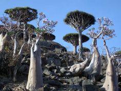 bottle trees and dragon blood trees - Yemen