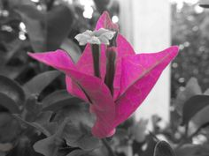 Bougainvilleas are one of my favorite flowers. I isolated the color on this one. The black and white background makes it pop. More sizes