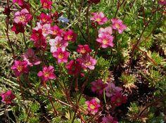 25 talajtakaró növény, melyekkel gyönyörűvé teheted a kertet! Plants, Garden, Rose