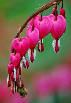 These always remind me of my Grandma's garden.  Bleeding hearts