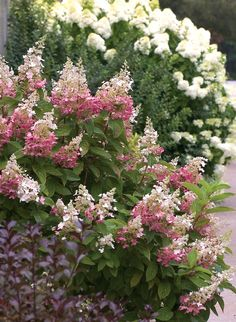 With cone-shaped blooms on strong, long stems, a bunch of panicle hydrangeas in a tall vase is simply stunning. Blooms begin in mid to late summer and last well into fall. They can be used in both fresh and dried arrangements. Gardeners across much of North America can grow these beauties in zones 3-8. Click here to see the 9 we have for you to choose from! http://emfl.us/w6Kd