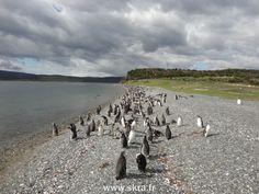 l'Ile aux manchots, Patagonie