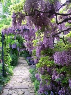 Wisteria Path,My late Mother Rose, had such a green thumb for starting new Wisteria plants..they were gorgeous.