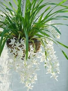 FINALLY A HANGING PLANT I LOVE. WHITE ORCHIDS. by ajct