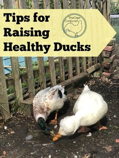 Tips for Raising Healthy Ducks: Ducks bring so much fun & joy to the farm yard! With their giant floppy feet, the way they waddle across the yard, the sheer joy they get from splashing in a kiddie pool, ducks really are a gr… Backyard Ducks, Backyard Poultry, Chickens Backyard, Backyard Farming, Backyard Patio, Backyard Landscaping, Portable Chicken Coop, Diy Chicken Coop, Raising Ducks