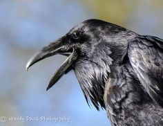Your daily raven by Wendy Davis Photography