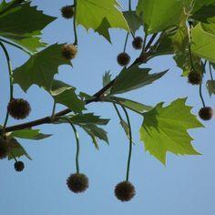 London Plane Tree, Tree Identification, Trees, Future, Garden, Plants, Pattern, Future Tense, Garten