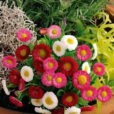 Tusensköna - bellis perennis l. Nelson Garden, Spring, Flowers, Bellis Perennis, Garden, Daisy, Plants
