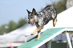 AKC March Agility Trial 4 by Deliquesce-Flux
