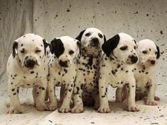 Always have wanted a Dalmatian.
