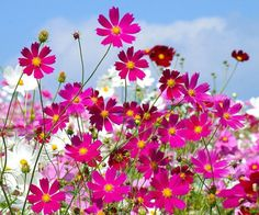 l love Cosmos. Definitely planting some this spring!