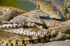 New Study Confirms Ancient Legend About Crocodiles | IFLScience