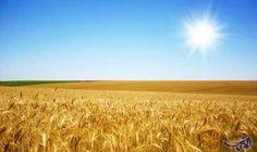 الزراعة الأردنية تؤكد استفادة مزارعي القمح والشعير…: قال الناطق الاعلامي لوزارة الزراعة الدكتور نمر حدادين ان أمطار الخير التي عمت المملكة…