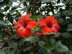 Resultado de imagen para rosa china arbusto