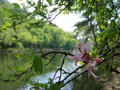 WILD AZALEA  (a/k/a wild honeysuckle because of it's sweet fragrance) grows wild on the banks of The Cahaba River, Bibb County, Alabama.