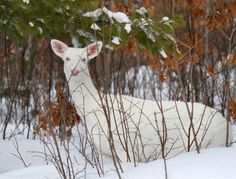 Albino White-tailed Deer of Boulder Junction Wisconsin - lifeinthenorthwoods Boulder Junction, Albino Deer, Deer Photos, Scenery Photography, State Forest, Rare Animals, White Tail, Bouldering, Wisconsin
