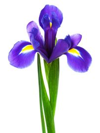 In some parts of the world, dark blue or purple irises indicate royalty, according to Law. No matter their color (they're most commonly seen in blue, white and yellow), they stand for faith and hope, says Gaffney.