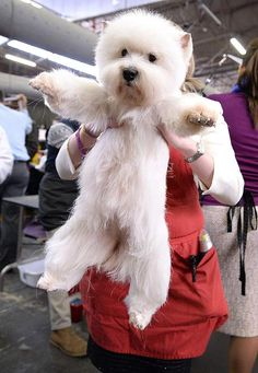 A woman rushes her West Highland Terrier to a grooming station ahead of its turn in the parade ring