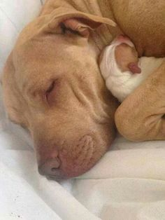 """A Mother's Love."" A Red-Nosed Pit Bull Mom Cuddling and Protecting Her Newborn Puppy. <3"