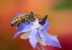 Bij in kleur - Geleedpotigen (insect, spin, etc) - honingbij