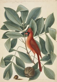 """Mark Catesby, """"The Red Bird, the Hiccory Tree and the Pignut"""" (1722-26), watercolor and bodycolor heightened with gum arabic (courtesy Royal Collection Trust, © Her Majesty Queen Elizabeth II)"""