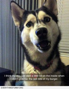 funny dog photo my dog died just a little on the inside when i ate last piece of burger