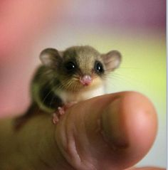 Babyy sugar glider awwwww ain't that just so adorable and sweet
