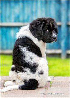 Landseer Newfoundland Pup