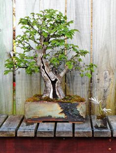 elm bonsai. Amazing pot choice