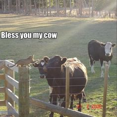 Funny animal pictures with captions bichos, gatinhos e cachorros, natureza, Funny Cow Pictures, Cute Animals With Funny Captions, Animal Captions, Funny Animals, Farm Animals, Long Pictures, Animal Antics, Funny Animal Memes, Animal Humor