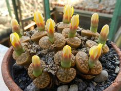 Lithops bromfieldii var. insularis, a photo by Succulents Love on Flickr.
