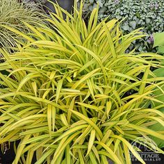 Carex Banana Boat - This Broad-Leafed Sedge will jazz up the shade garden or neatly outline the border! It leafs out when the weather warms up in spring, making it a fine choice for underplanting spring-blooming bulbs such as Daffodils and Tulips. Full Sun Perennials, Shade Perennials, Shade Plants, Cannabis, Marijuana Plants, Edging Plants, Garden Plants, Deer Resistant Plants, Banana Boat
