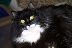 Meet Mischa in Petfinder's Fit FurKeeps Gallery. This black and white cat loves to lounge, bask in attention, and be a loved and loving companion.