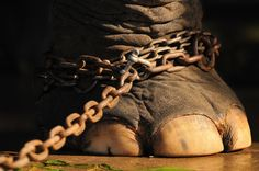 Amazing Animals End Animal Abuse! The Netherlands are the country in europe to ban wild animals in circuses. there is no circus with. Animals Beautiful, Cute Animals, Wild Animals, Beautiful Creatures, Baby Animals, By Any Means Necessary, Save The Elephants, Circus Elephants, Giraffes