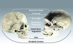 """Bradshaw Foundation on Twitter: """"The 2 million year melee—neanderthals vs. humans """" Though they were closely related, Neanderthals and ancient humans were different species. Papagianni compared the skull of a Neanderthal to that of a human. The difference is clear. """"Think of the skull of a human as a soccer ball, and the skull of a Neanderthal as a football,"""" she says. This sports analogy goes a step further. Like a soccer player, humans are lean and well-suited to running. Neanderthals have…"""