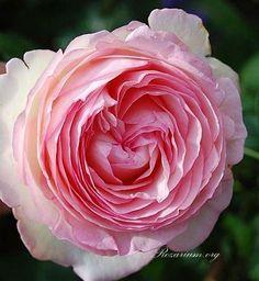 Ivy Clad: Eden Climbing Rose