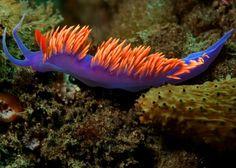 Los nudibranquios animales marinos bellos y mortales 04