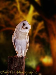 Photograph of Barn Owl (Tyto alba) and floodlit trees. Rights managed image. Owl Photos, Owl Pictures, Owl Bird, Pet Birds, Exotic Birds, Colorful Birds, Animals And Pets, Cute Animals, Tyto Alba
