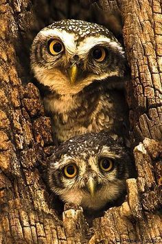 Owl and Owlet gazing at me <3