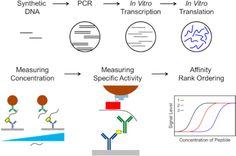 Robust, #Quantitative #Analysis of #Proteins using #Peptide #Immunoreagents, in Vitro Translation, and an Ultrasensitive Acoustic Resonant #Sensor