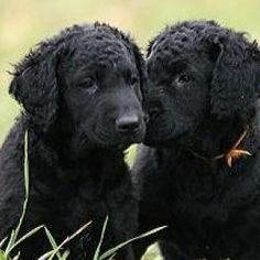 Curly Coated Retriever Pups ~ Classic Look