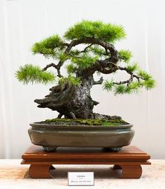 On The Net Landscape Design And Style - The New On-line Tool That Designers Are Flocking To For Landscape Designs Larch Bonsai, Driftwood Style. Bonsai Art, Bonsai Plants, Bonsai Trees, Garden Terrarium, Bonsai Garden, Mini Bonsai, Miniature Plants, Growing Tree, Small Trees