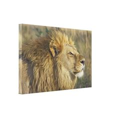 Beautiful wildlife theme with a regal golden lion in closeup shot as he gazes into the distance on wrapped canvas.