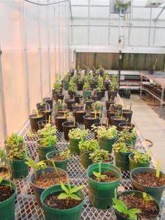 herb cuttings