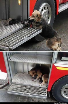 Chienne sauve tout ses petits d'une maison en feu - This dog saved all of her puppies during a house fire and put them in one of the firetrucks