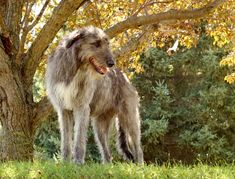 The largest dog in the world, the Irish Wolfhound is known for its gentle nature, its rich history, and its remarkable size!